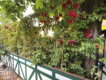 Le rose di Ribot